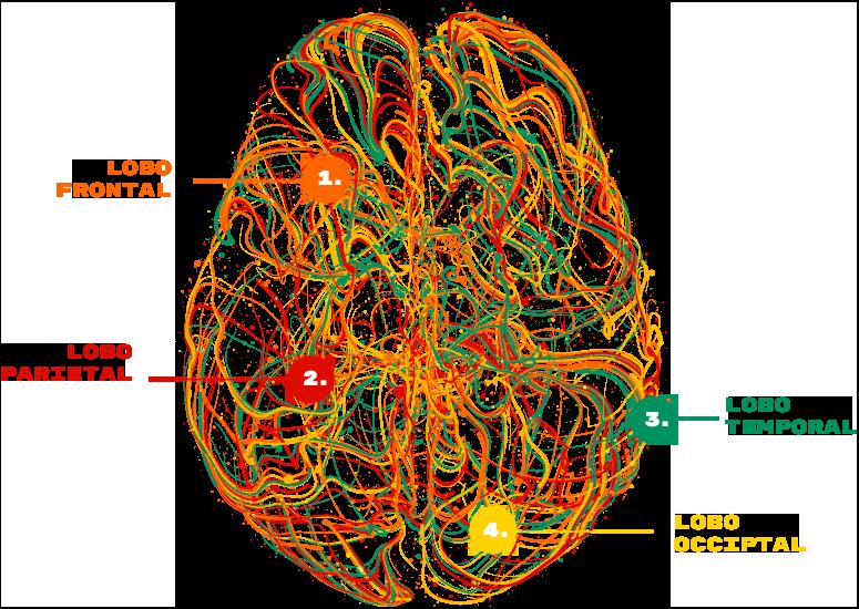 Lobos do Cérebro